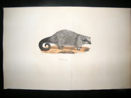 Saint Hilaire & Cuvier C1830 Folio Hand Colored Print. The Binturong